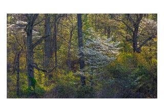 Awakening Woods