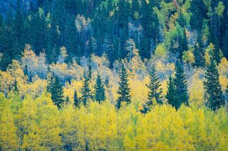 Aspen and Blue Spruce