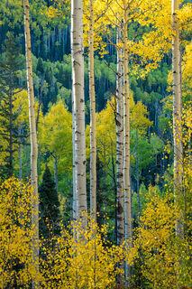 Owl Creek Pass Autumn Aspens