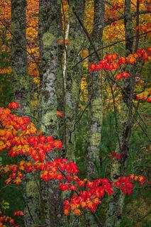 Autumn Maple Intimate