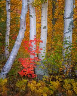 Birch & Maple