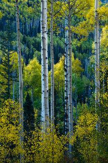 Uncompahgre Autumn Aspen Stand