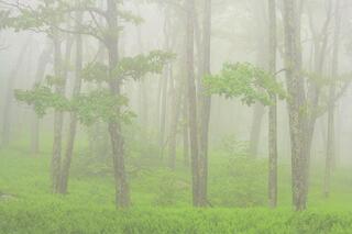 Morning fog, ferns and forest along the Appalachian Trail.