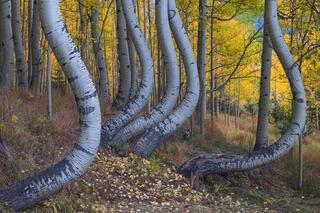 Twisted Aspens