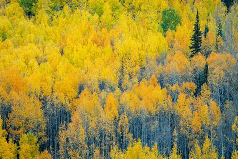 Autumn Aspens Near Engineer Pass