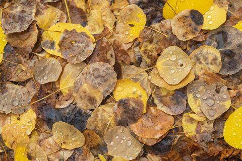 Fallen Autumn Aspen Leaves