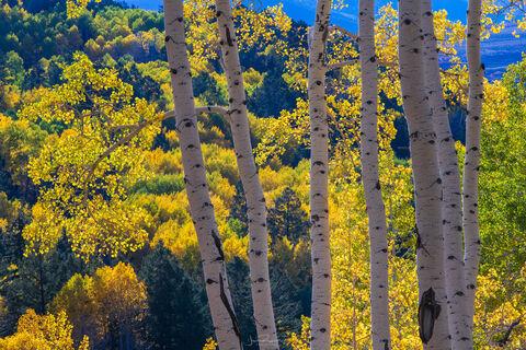 Vibrant Autumn Aspens