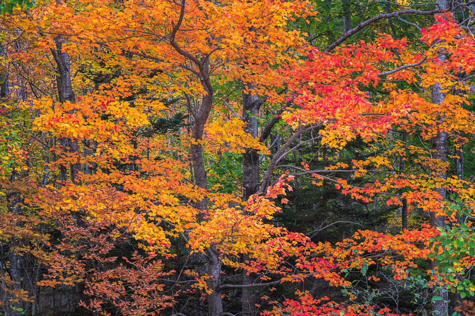 October Maples of Acadia
