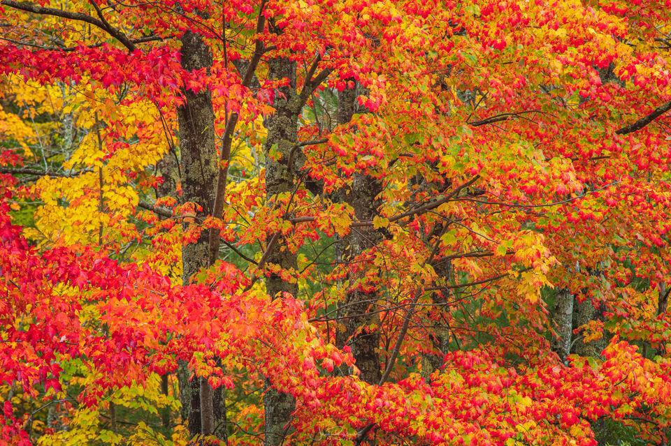 Acadia Maples
