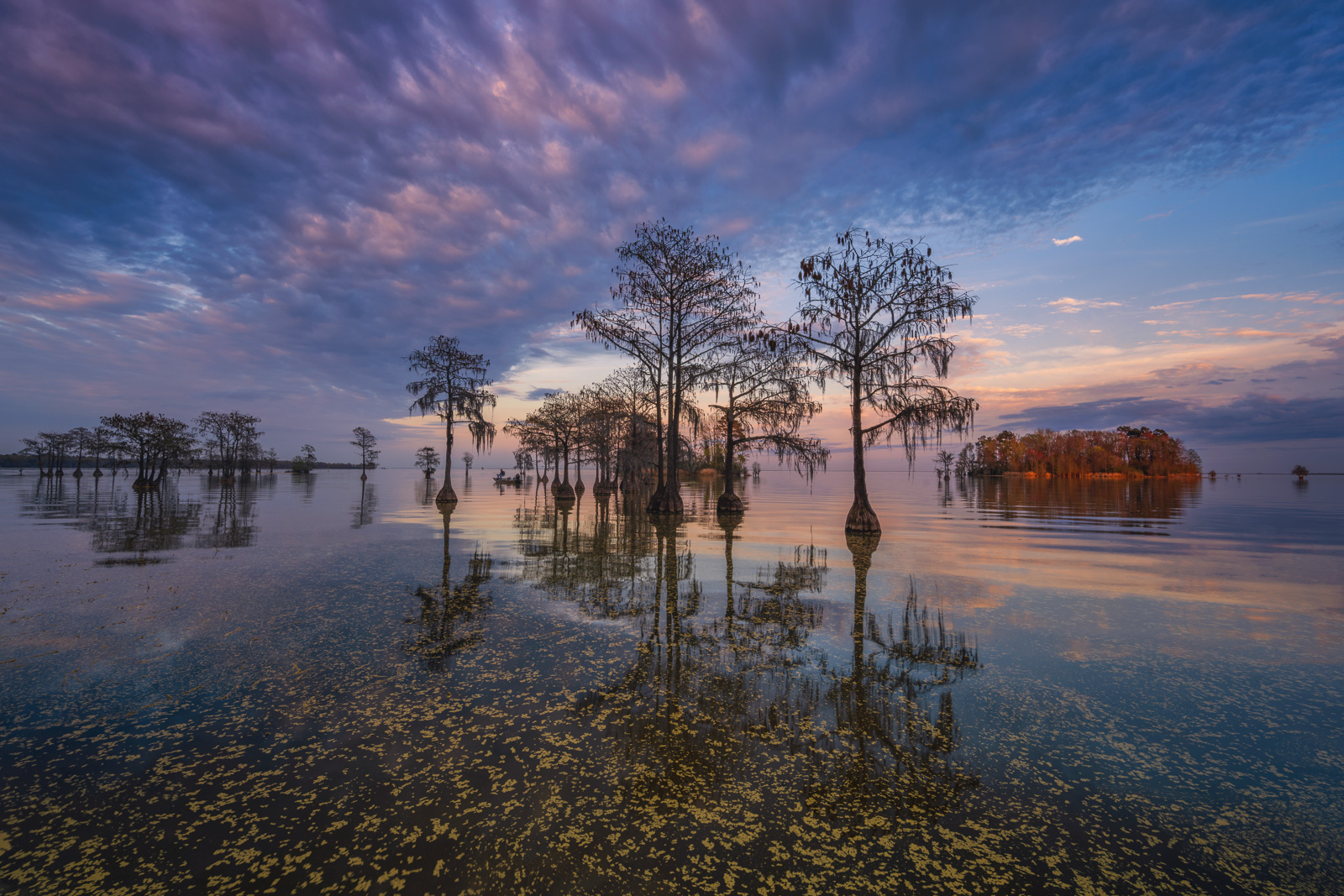 Bald Cypress Trees reflecting in the calm waters of Lake Moultrie at sunset.