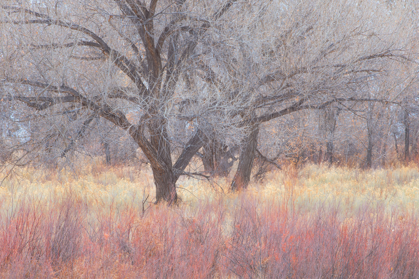 Cottonwoods, Rabbit Brush and Reeds dressed in winter pastels along the Fremont River, Utah.