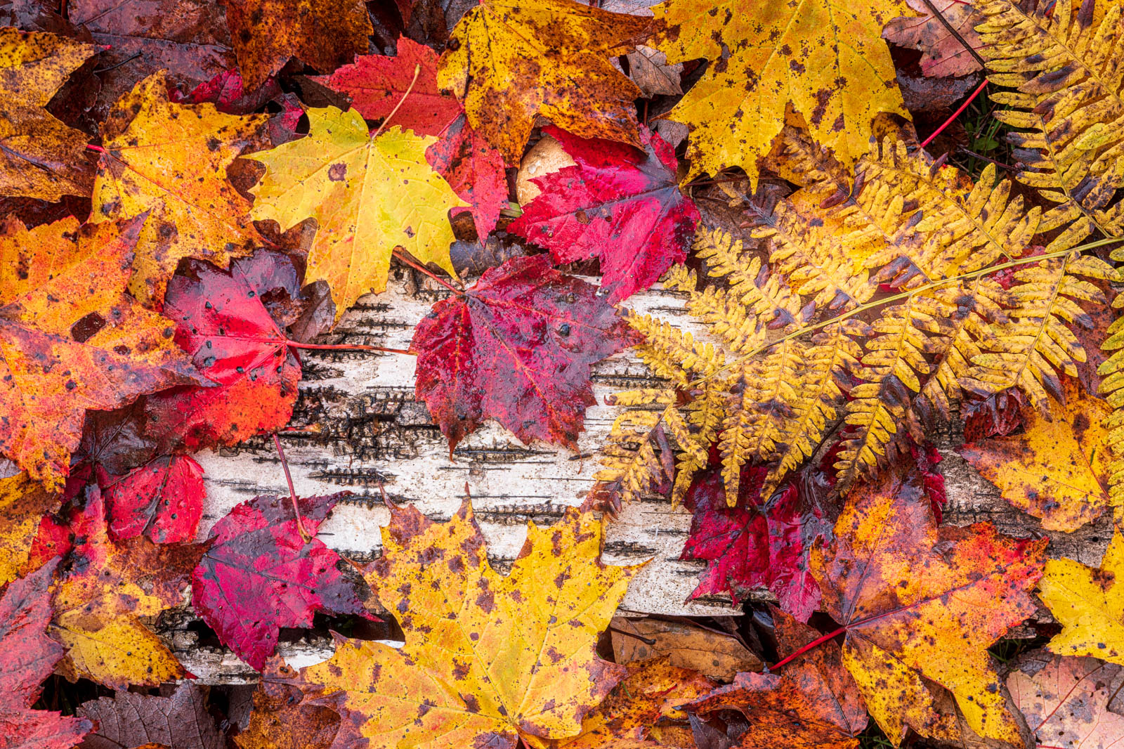 Autumn leaves on the forest floor, Groton State Forest, Vermont.