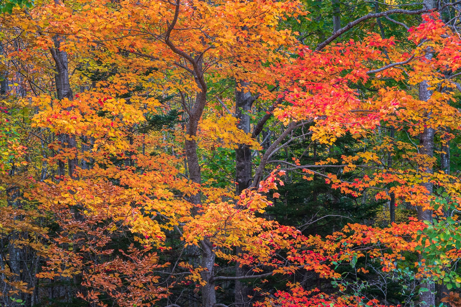 Autumn maples dot the forests of Acadia National Park and turn a stunning display of coor in October. I found this Maple one...