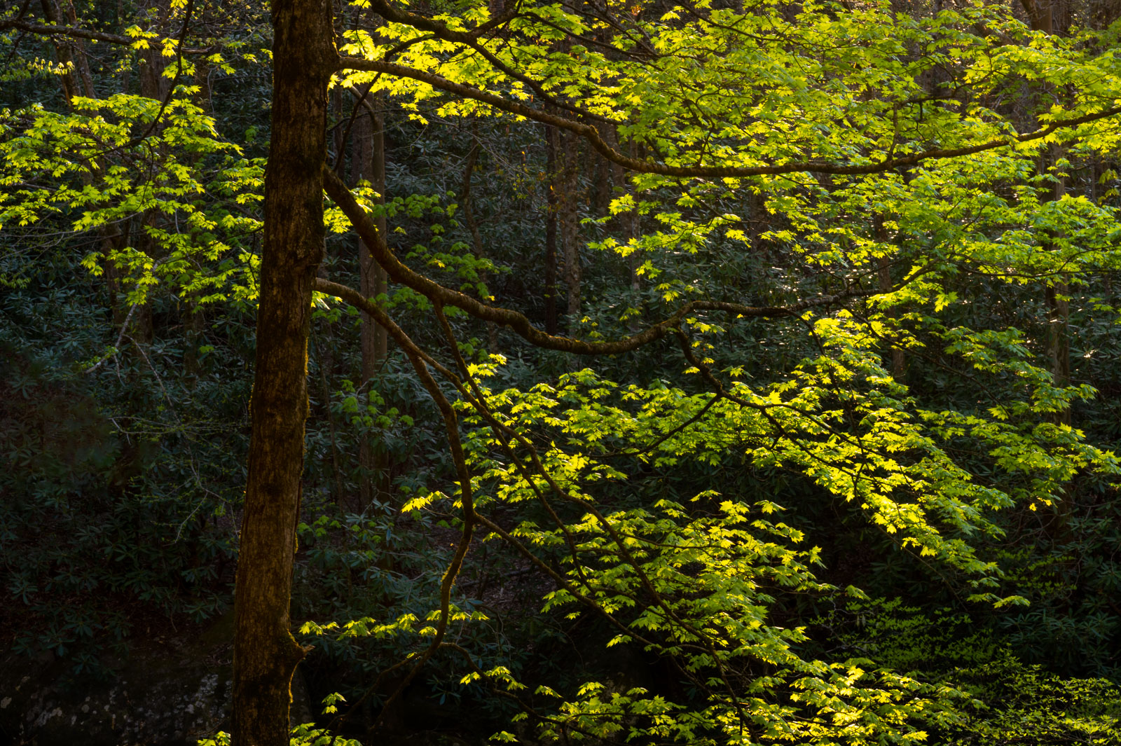 Spring glow in the forest of Great Smoky Mountains National Park.