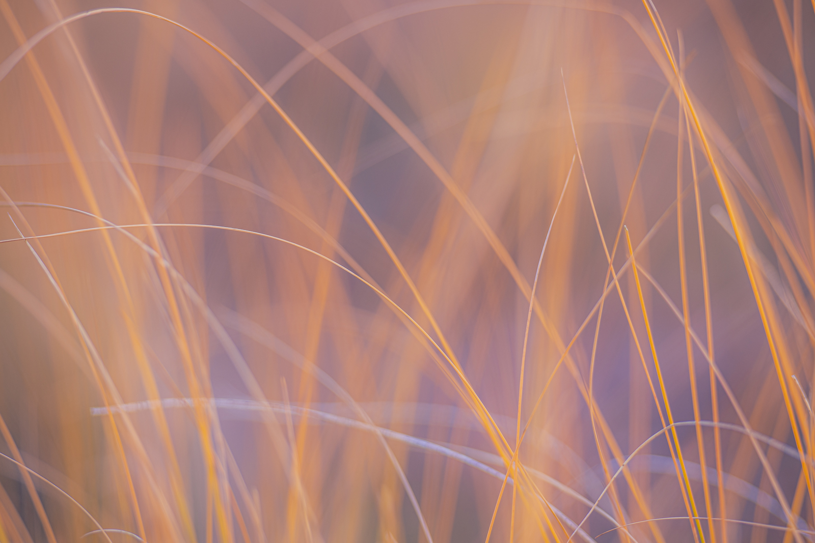 Abstract interpretation of grasses captured in the early morning hours in an alpine meadow in the San Juan Mountains of Colorado...