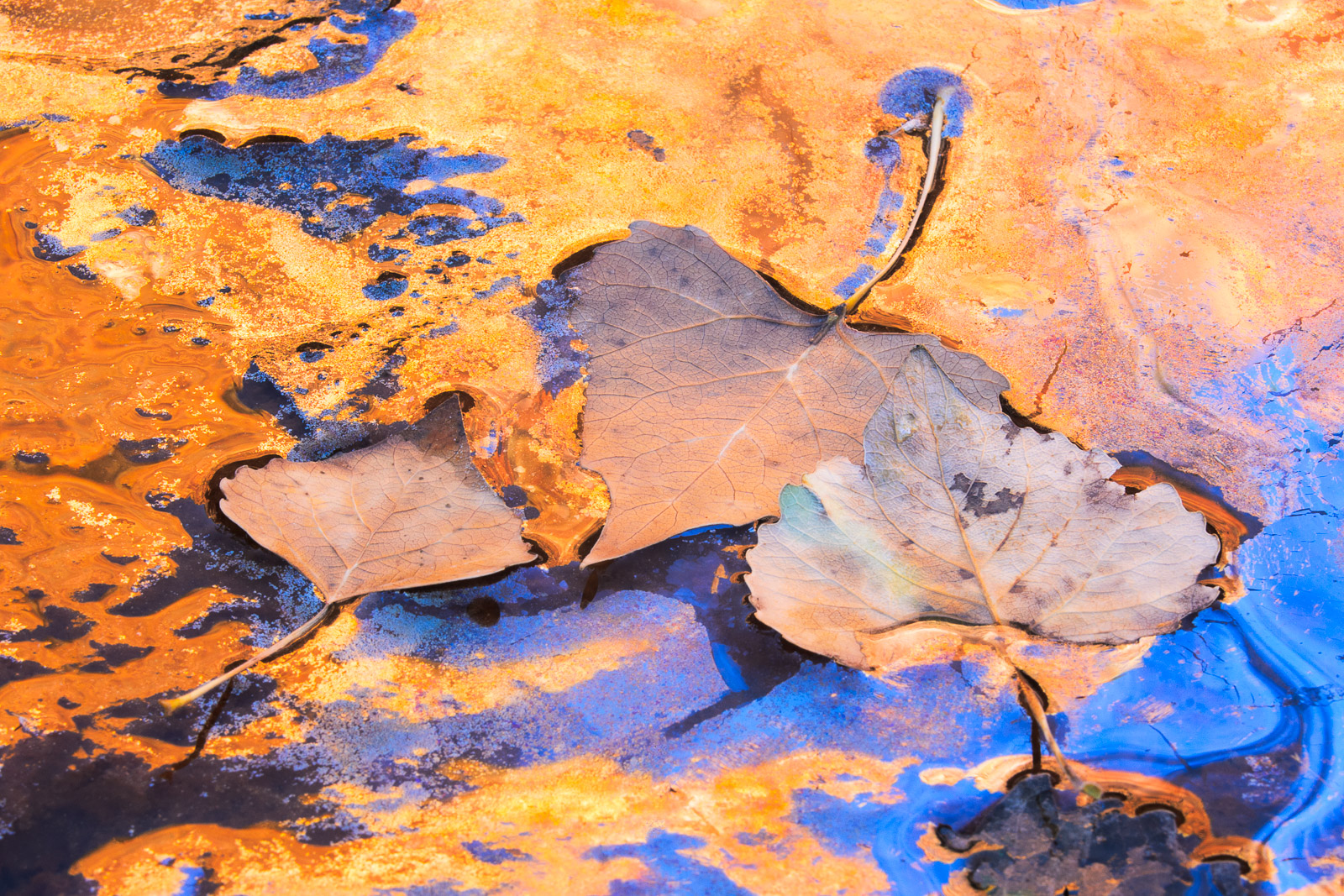 Cottonwood leaves and reflections along the banks of the Virgin River.