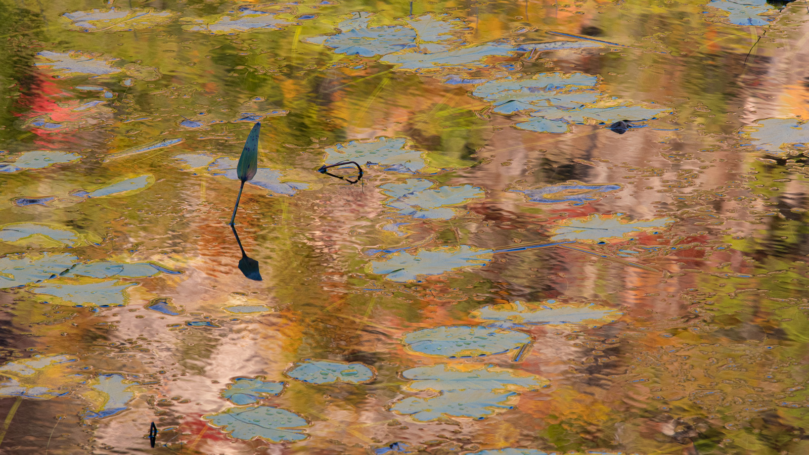 """Lilly pads and autumn reflections in the """"tarn"""", Acadia National Park."""