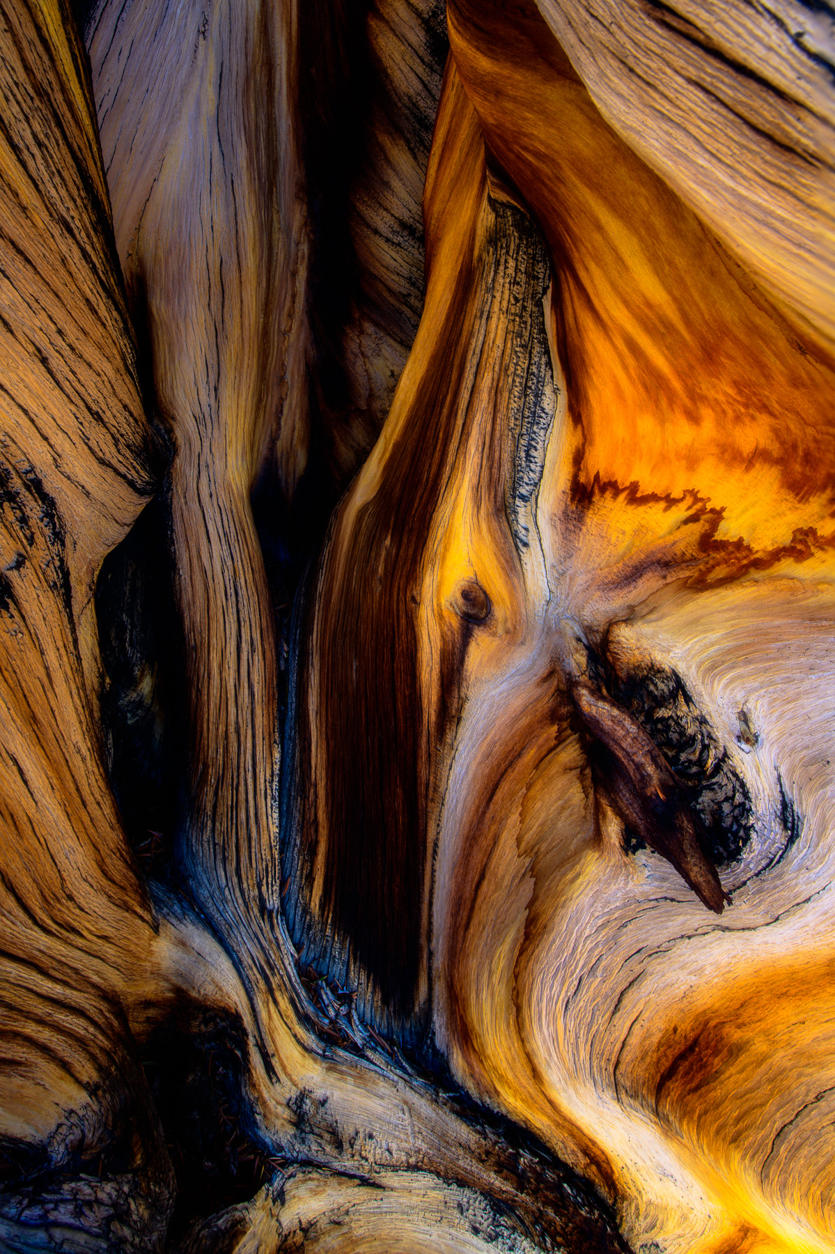 Detail of weathered ancient Bristlecone Tree, White Mountains, California