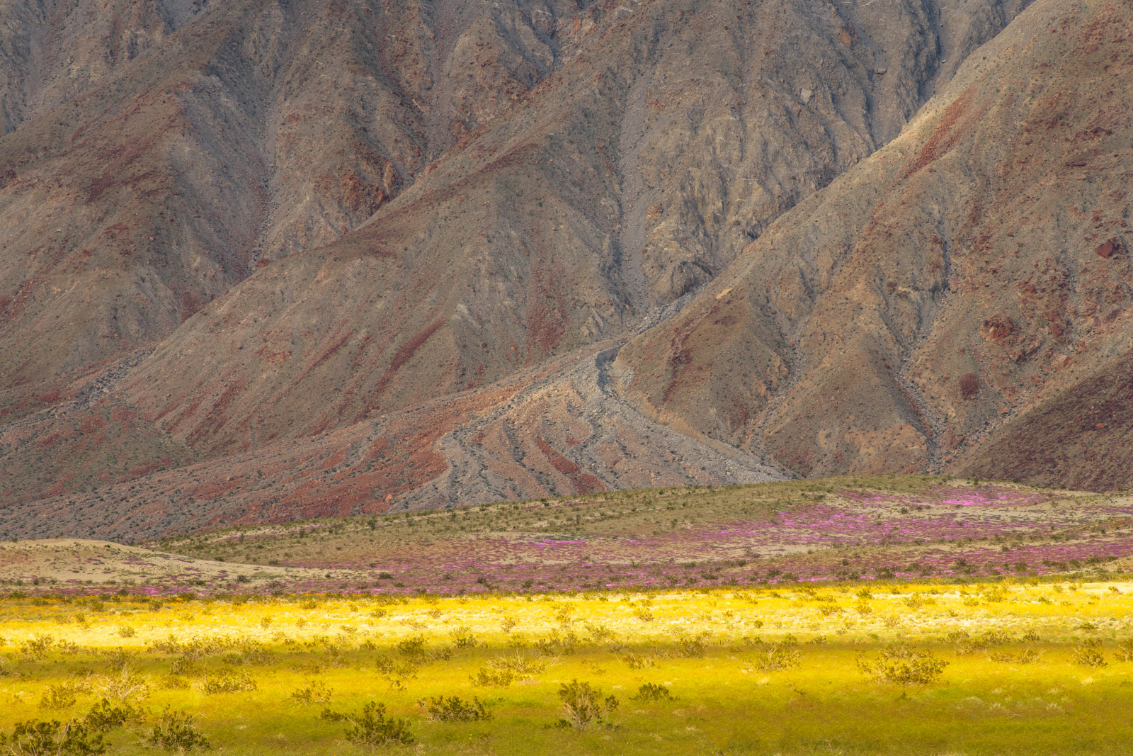 Siper bloom with rugged desert hills in Anza Borrego Desert State Park.