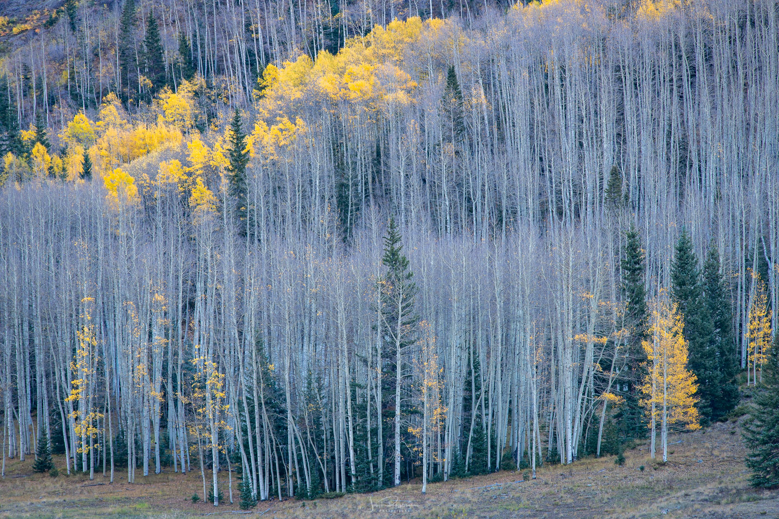 The last remaining color in a stand of Aspen near Crystal Lake.
