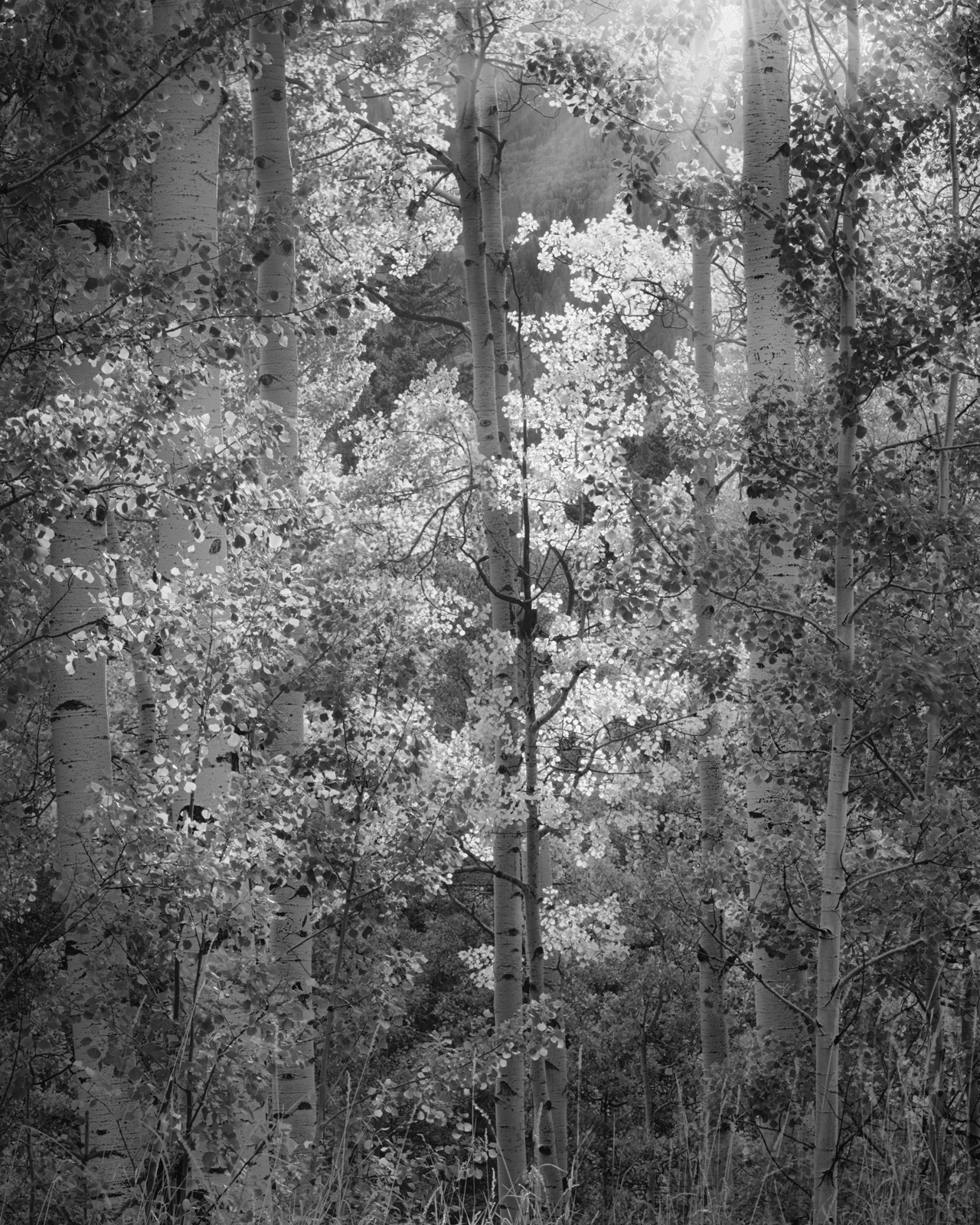 Afternoon sunlight spills through this glade of Aspens near Silver Jack Reseviour.