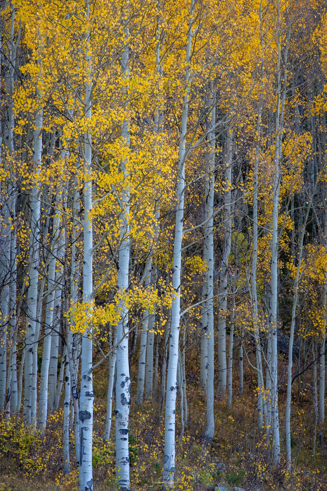 Intimate stand of autumn aspens near Crystal Lake.