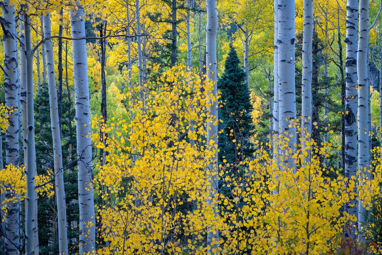 Aspens near Owl Creek Pass.