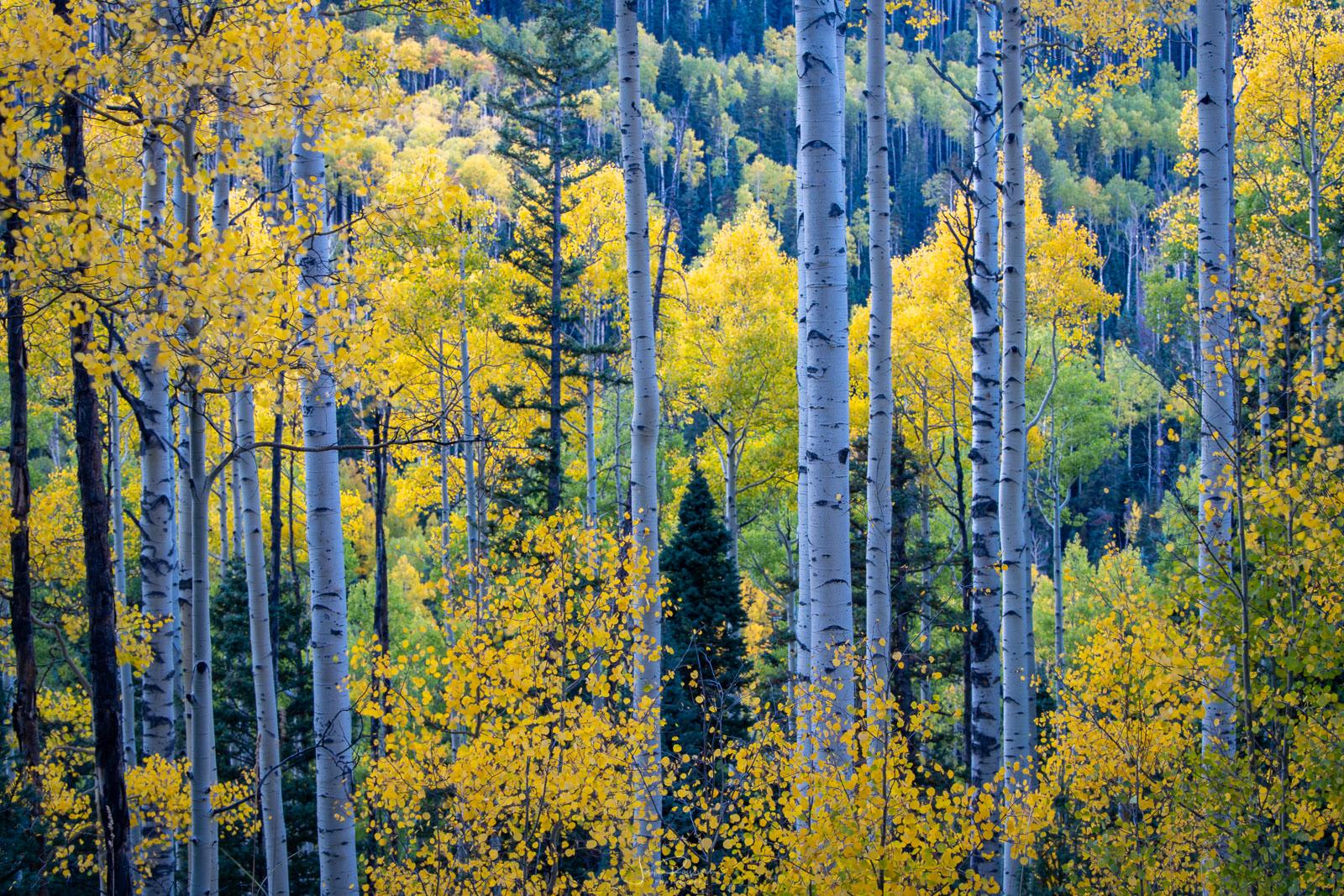 Autumn aspen stand near Owl Creek Pass.