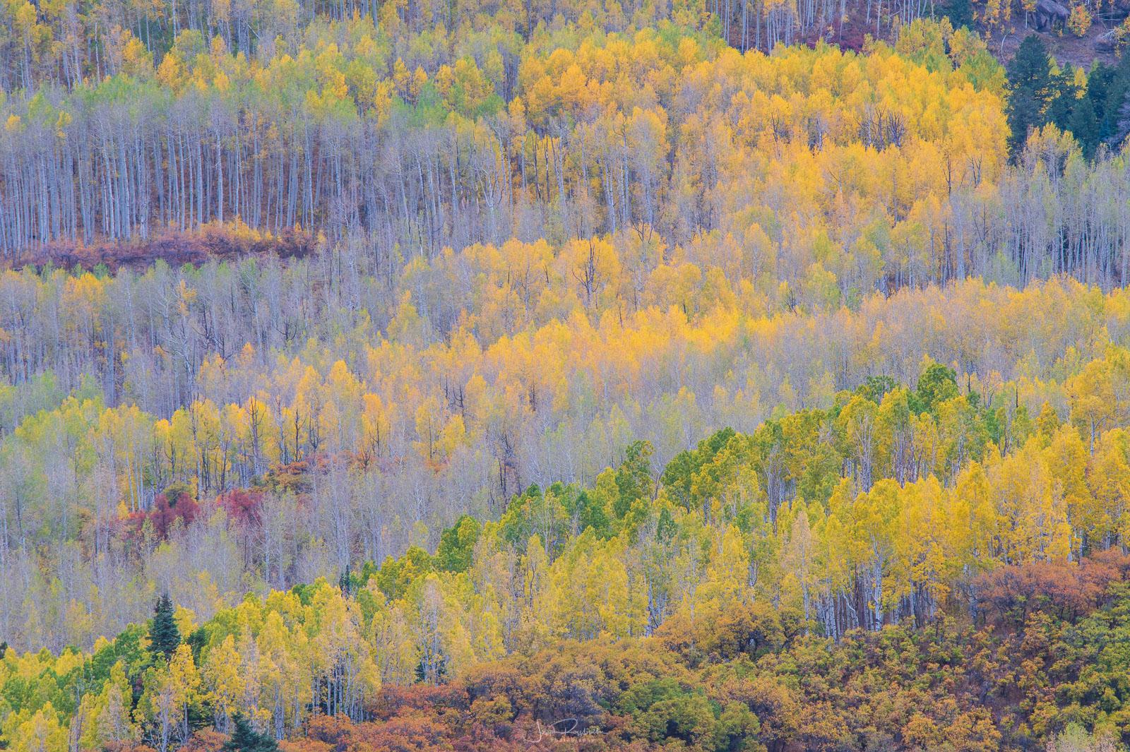 Autumn aspen stand below Cimarron Ridge.