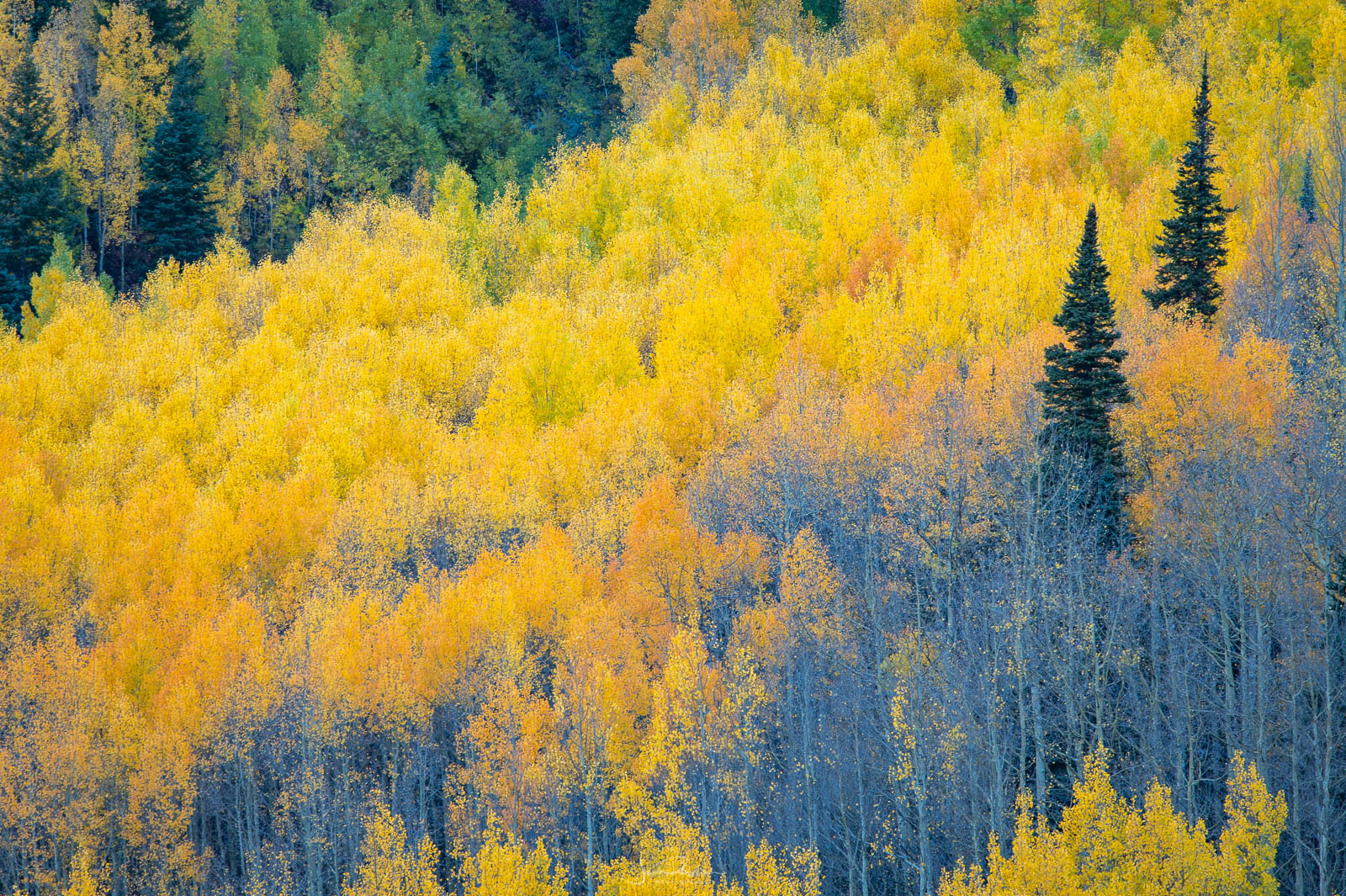 Autumn aspens photographed from the Million Dollar Highway.