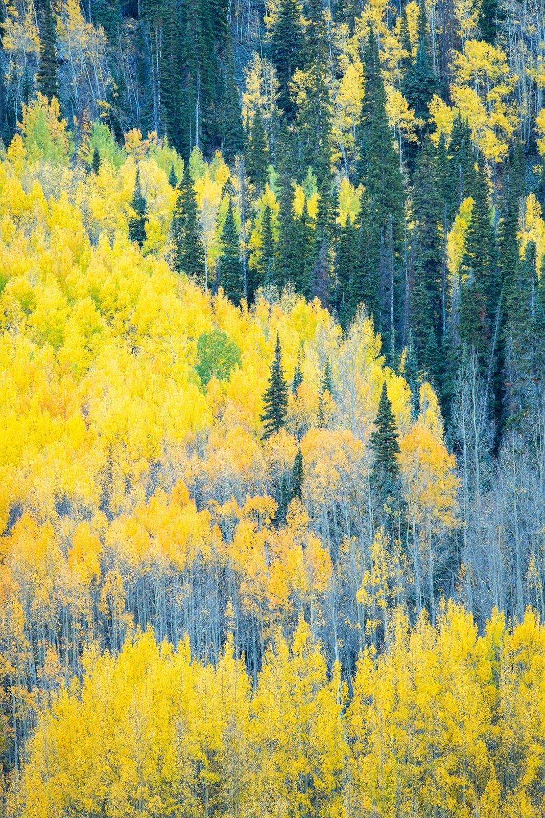 Autumn aspens along the Million Dollar Highway.