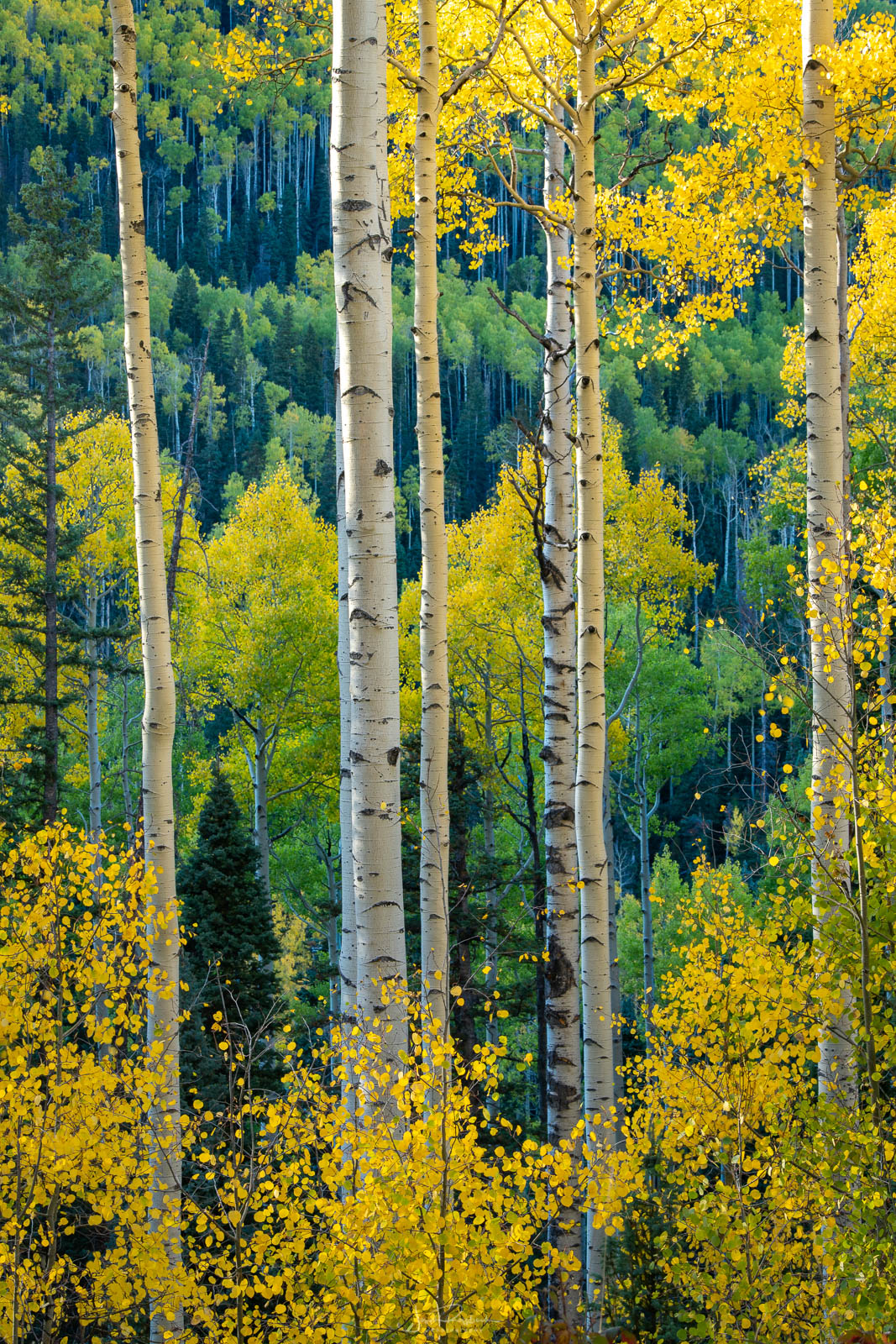 Autumn aspen stand near Owl Creek Pass captured on an September afternoon while photographing autumn color in the San Juan Mountains...