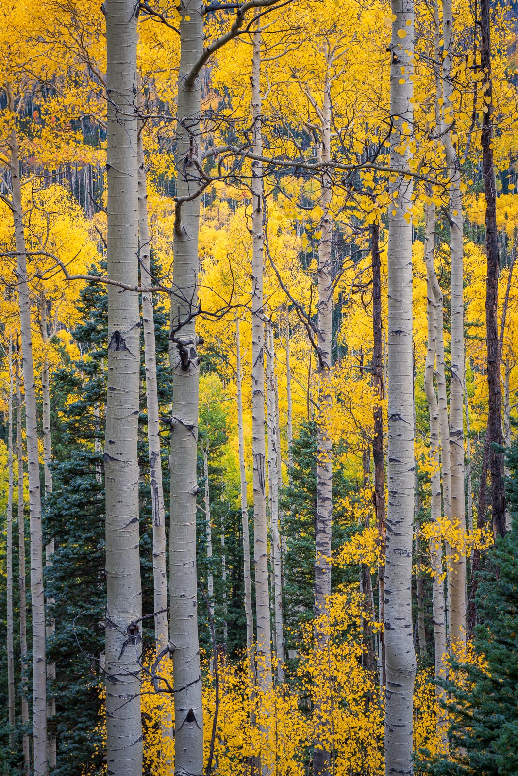 Autumn Aspen stand near Owl Creek Pass, Colorado.