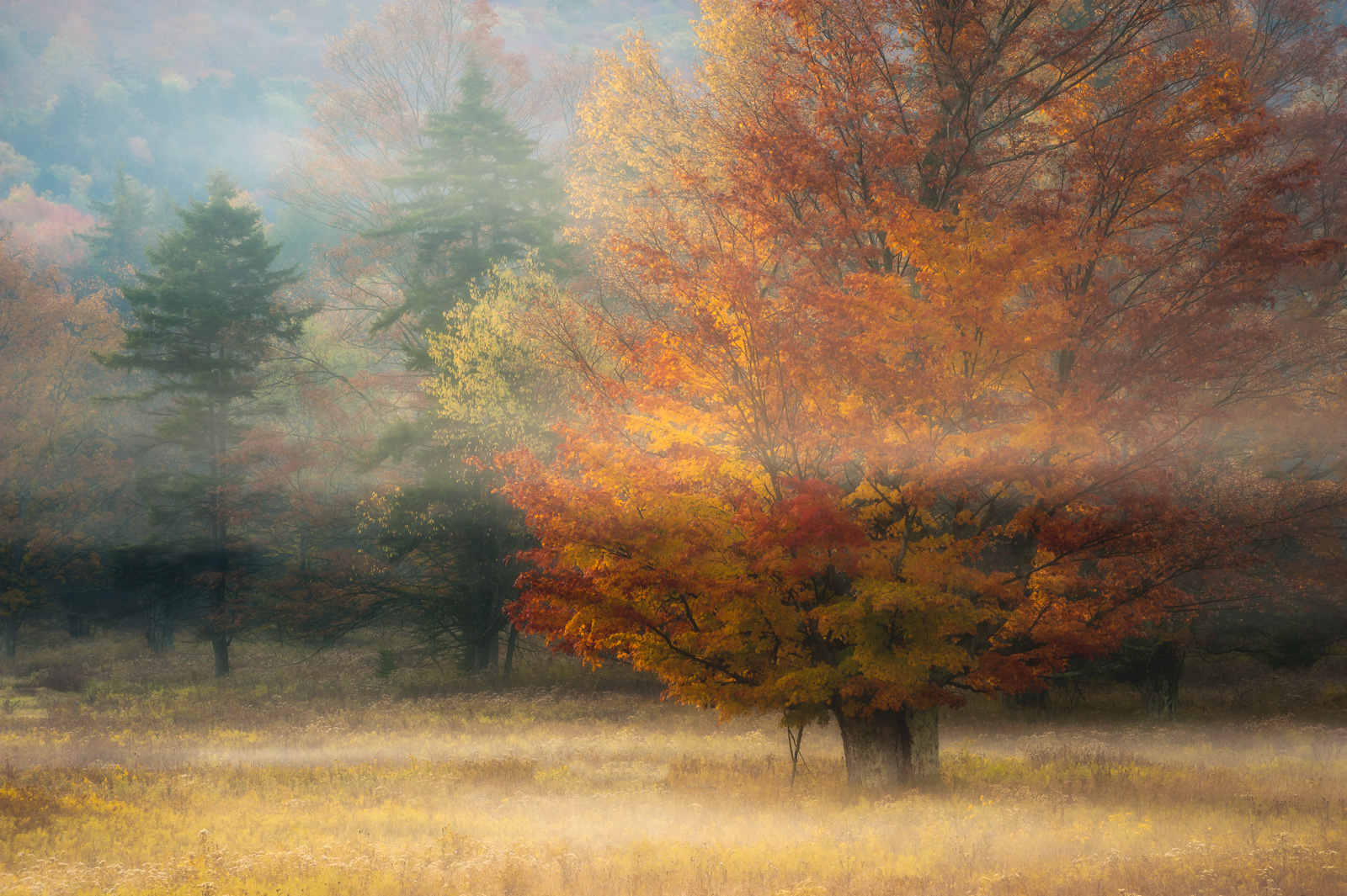Sugar Maple and morning fog in Canaan Valley State Park. Available Print Sizes: 12x18, 16x24, 20x30, 24x36, 30x45, 40x60Limited...