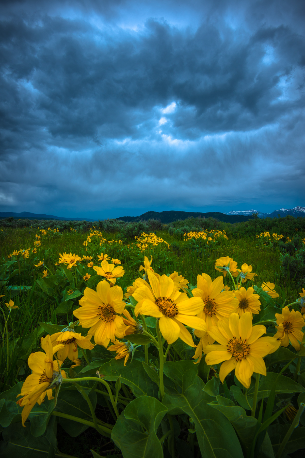 Balsomroot and an epic afternoon thunderstorm over Antelope Flats, Grand Teton National Park, Wyoming. Available Print Sizes:...