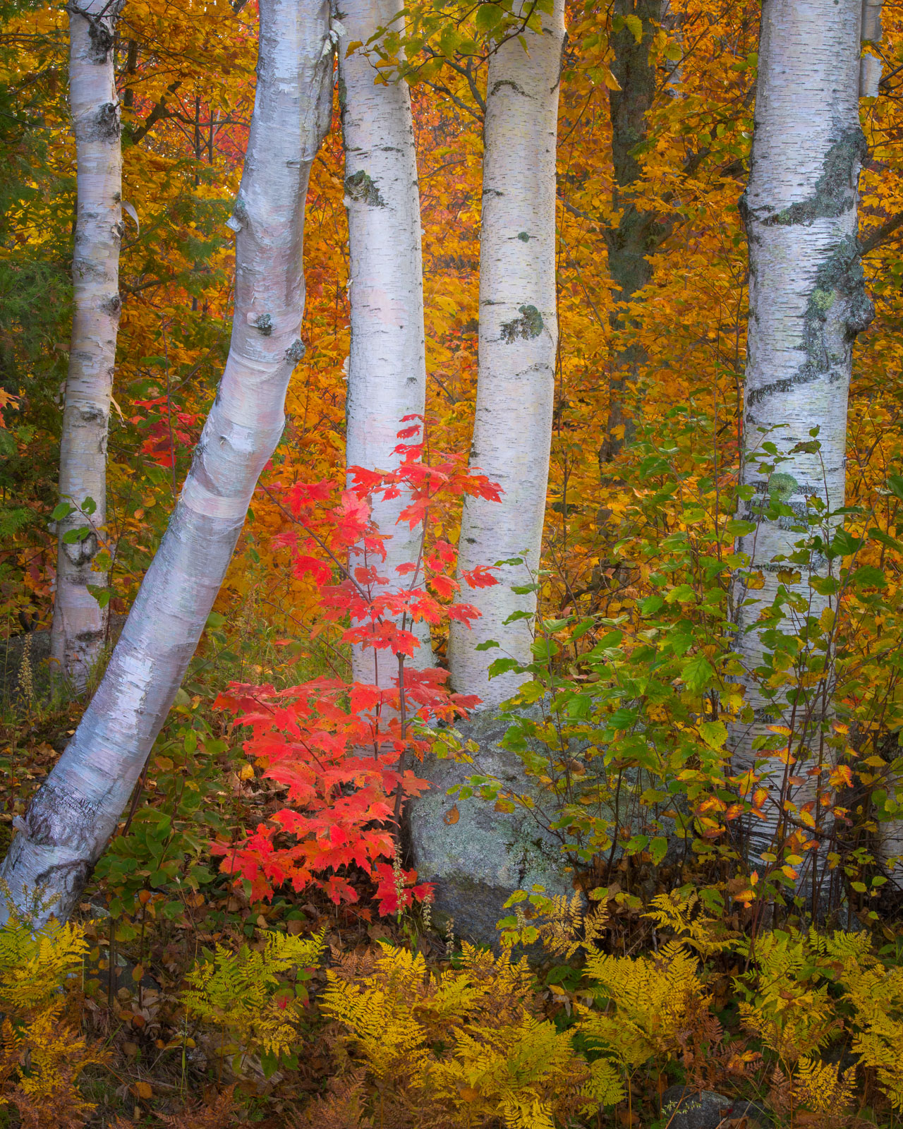 Autumn color in the Groton State Forest, Vermont.