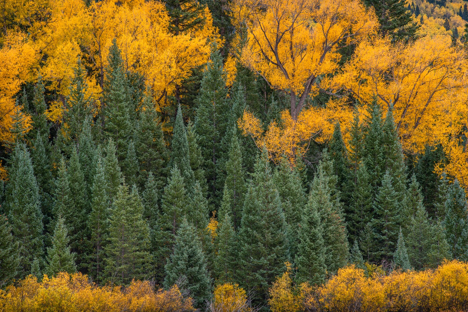 Autumnh Cottonwoods and Blue Spruce in the San Juan Mountains, Colorado.