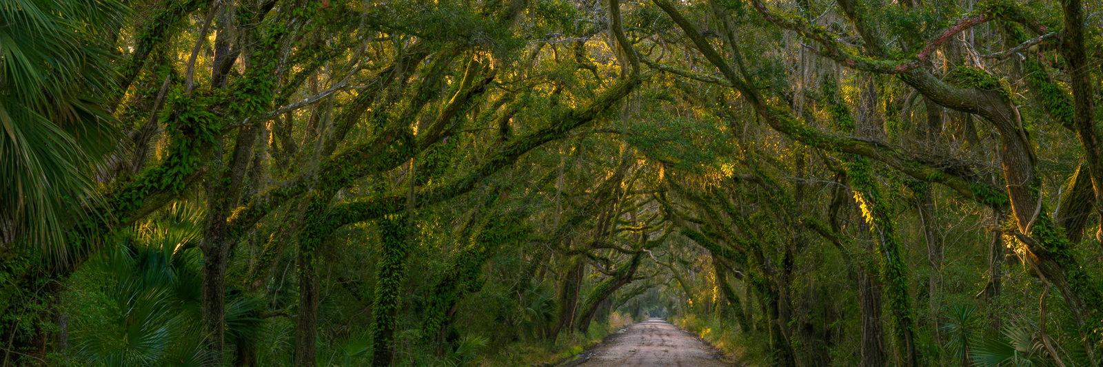 Live Oaks draped in moss line this country lane on Edisto Island.