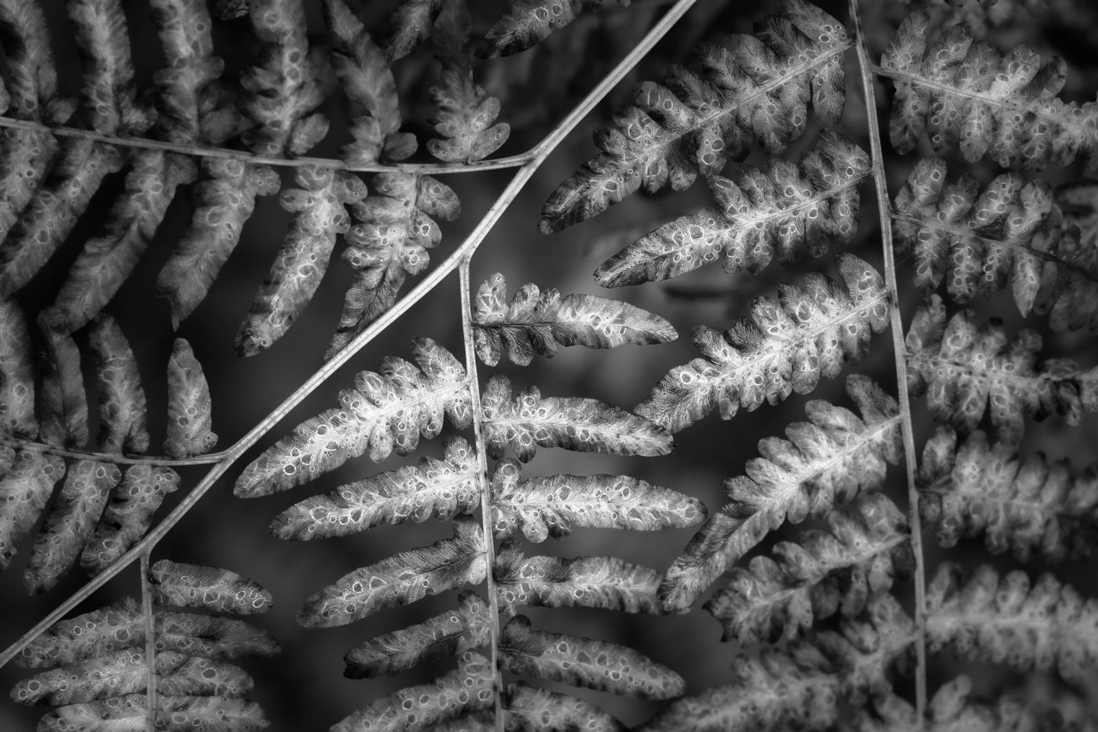Macro image of autumn braken ferns in Vermont's Northeast Kingdom.