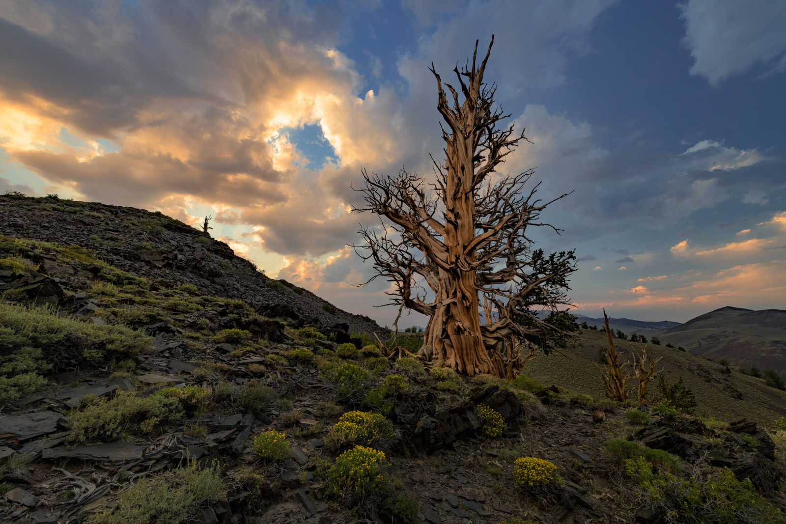 A Bristlcone Pine, possible thousands of years old, sits along a lone hillside in the White Mountains.