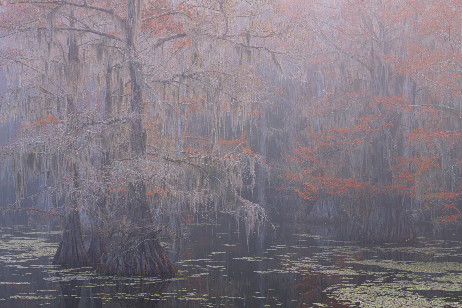 Bald Cypress dressed in autumbn color on Caddo Lake.