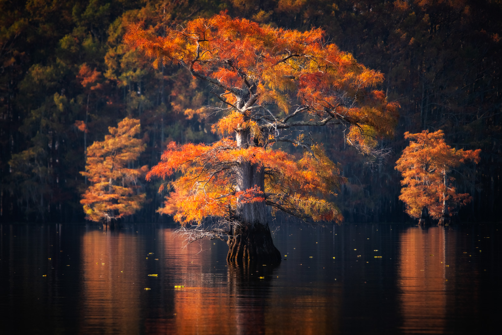 A bald Cypress catches first light on Caddo Lake, Texas.