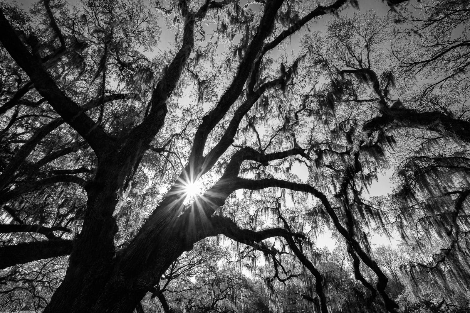 Live Oak in Magnolia Plantation & Gardens outside of Charleston.