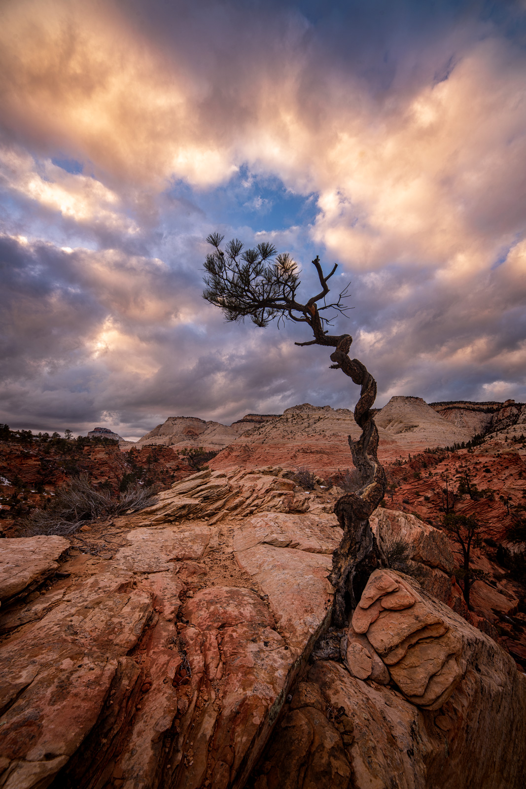 A gnarled and twisted Utah Juniper hanging on the edge of a remote cliff on Checkerboard Mesa.