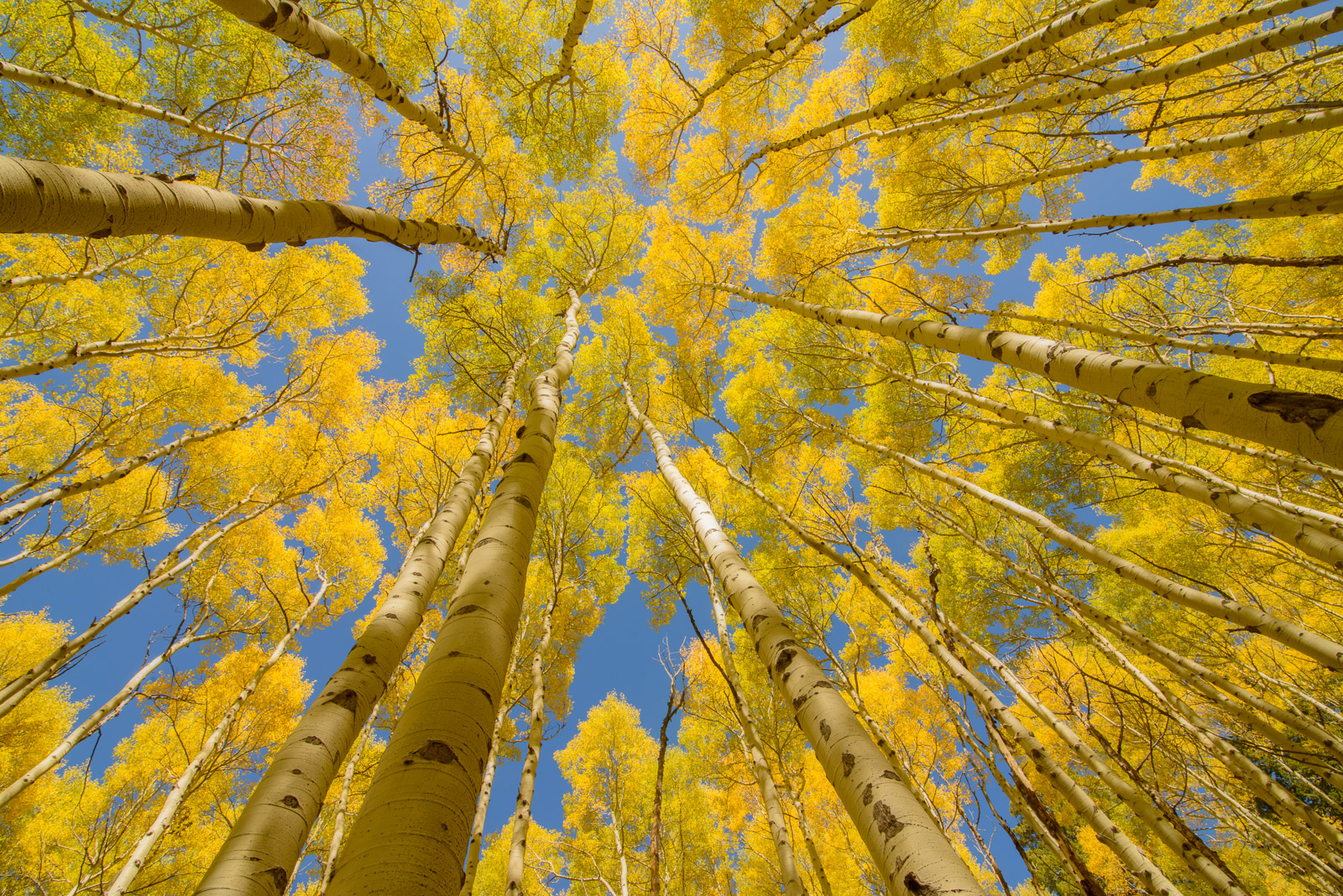 A canopy of autumn color captured in a glade of aspens in the San Juan Mountains of Colorado. Available Print Sizes: 12x18, 16x24...
