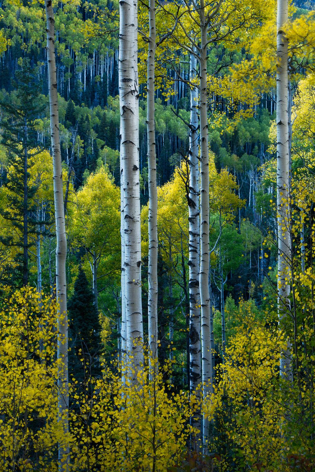Landscape, National Forest, Uncompahgre, aspens, autumn, color, color landscapes, colorado, dramatic, fine art, forest, light...