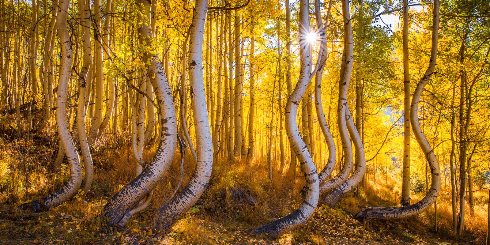 A unique stand of twisted autumn aspens, San Juan Mountains, Colorado