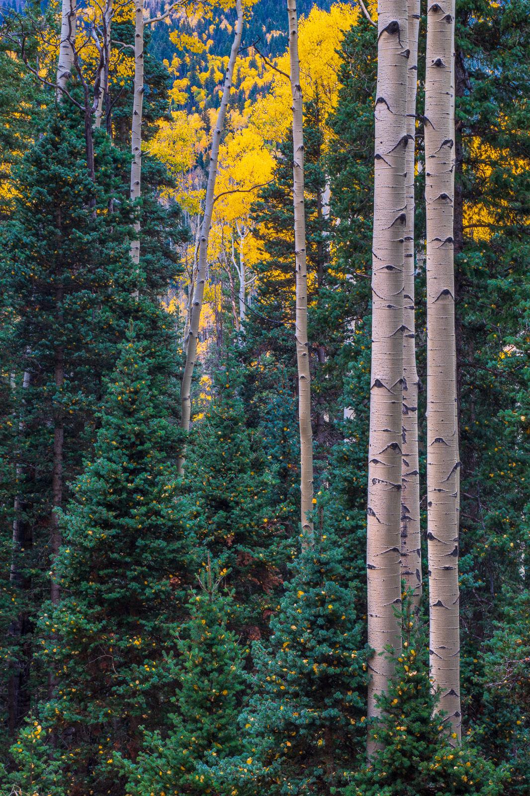 Landscape, aspens, autumn, blue spruce, color, colorado, colorful, mountains, nature, owl creek pass, photo, picturesque, rocky...