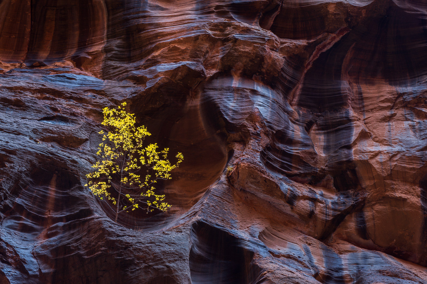 A stunted Cottonwood Tree finds a perch in the most unlikely place in the Virgin River Narrows.