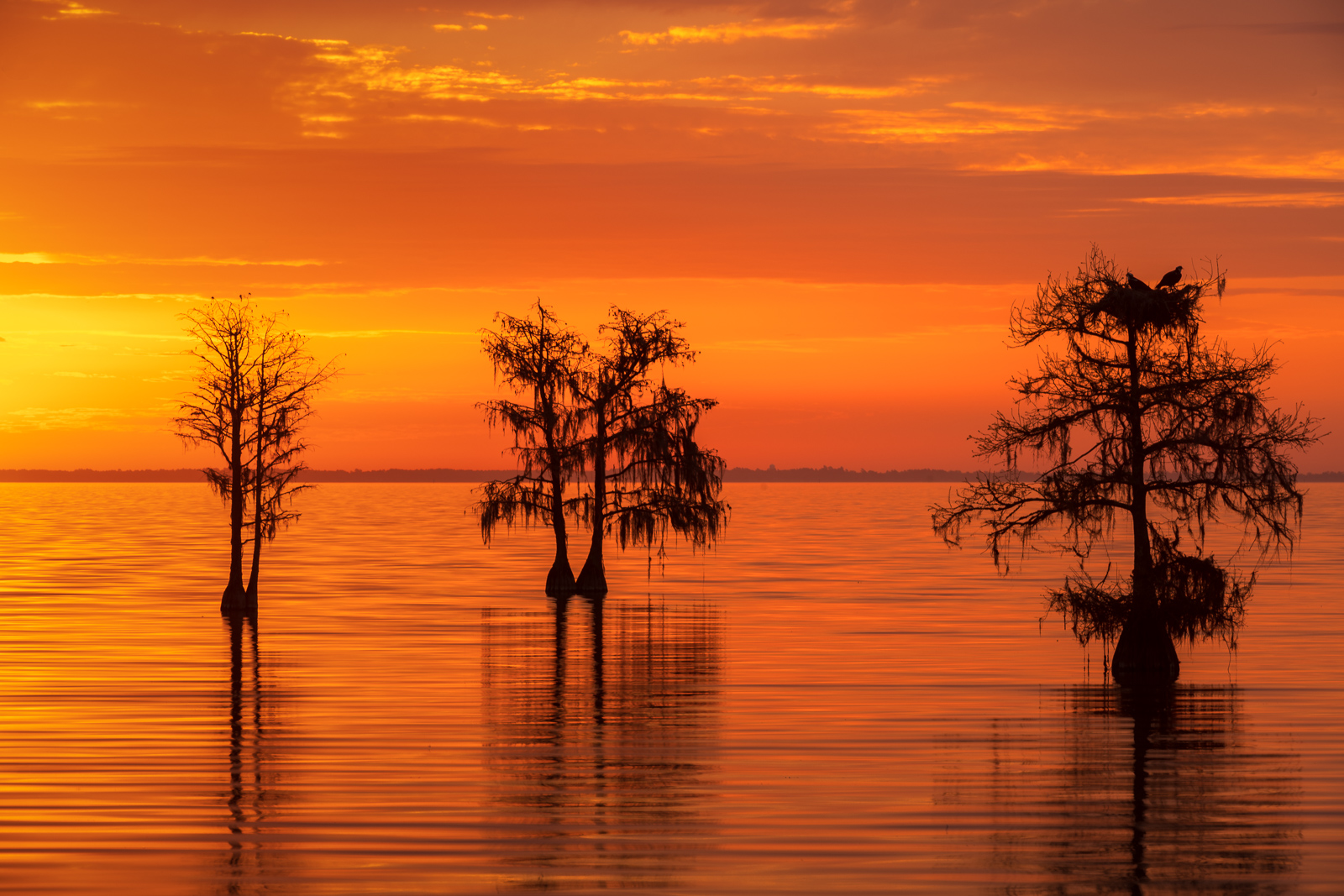 Bald Cypress on Lake Moultrie at sunrise.